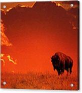 Bison At Sunset Acrylic Print