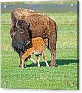 Bison Baby And Mom Acrylic Print