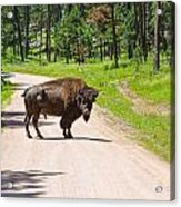 Bison Blocking The Road Acrylic Print