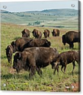 Bison Buffalo In Wind Cave National Park Acrylic Print