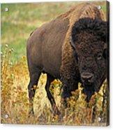 Bison Buffalo Acrylic Print