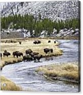 Bison By The Madison Acrylic Print