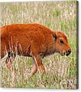 Bison Calf Grand Teton National Park Acrylic Print