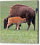 Bison Calf Having Breakfast In  Yellowstone National Park Acrylic Print