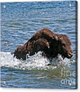 Bison Calf Running After Mama In Yellowstone National Park Acrylic Print