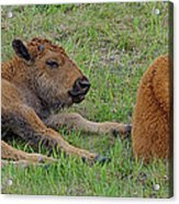 Bison Calves  Acrylic Print