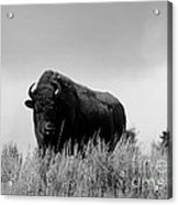 Bison Cow On An Overlook In Yellowstone National Park Black And White Acrylic Print