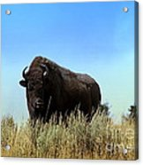 Bison Cow On An Overlook In Yellowstone National Park Acrylic Print