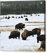 Bison Cows Browsing Acrylic Print