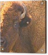 Bison Evening Acrylic Print