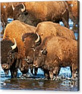 Bison Family In The Lamar River In Yellowstone National Park Acrylic Print