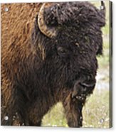 Bison From Yellowstone Acrylic Print