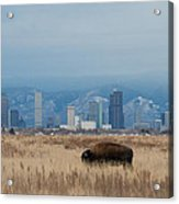 Bison Graze With Denver Colorado In The Background Acrylic Print
