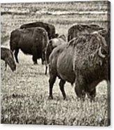 Bison Herd Bw Acrylic Print