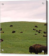 Bison Herd Acrylic Print by Olivier Le Queinec
