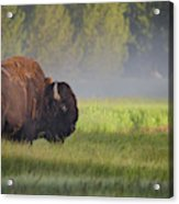 Bison In Morning Light Acrylic Print