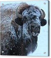 Bison In Snow Acrylic Print