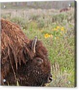 Bison In The Flowers Ingrand Teton National Park Acrylic Print