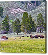 Bison Kicking Up Dust In The Meadow In Yellowstone National Park-wyoming  Acrylic Print