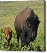 Bison Mother And Calf Acrylic Print