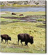 Bison Mother And Calf In Yellowstone National Park Acrylic Print