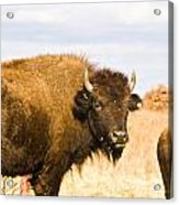 Bison On Tall Grass Iv Acrylic Print