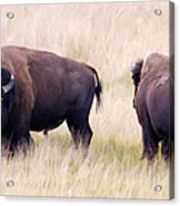 Bison Painting Acrylic Print