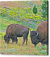 Bison Pair In Hayden Valley In Yellowstone National Park-wyoming  Acrylic Print