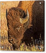 Bison Potrait At Teh Elk Ranch In Grand Teton National Park Acrylic Print