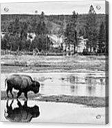 Bison Reflection Acrylic Print