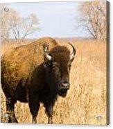 Bison Tall Grass Acrylic Print
