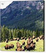 Bison Valley Acrylic Print