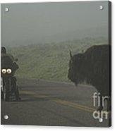 Bison Versus Hogs Acrylic Print
