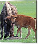 Bison With Young Calf Acrylic Print