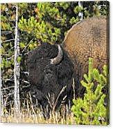 Bison's Portrait Acrylic Print