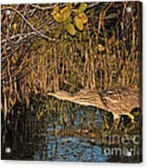 Bittern Stretched Out Acrylic Print