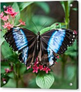Black and Blue Wings Acrylic Print