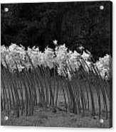 Black And White Amaryllis Acrylic Print by Denice Breaux