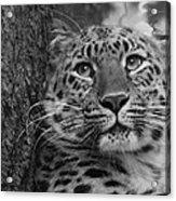 Black And White Amur Leopard Acrylic Print
