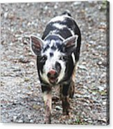 Black And White Baby Pig Acrylic Print