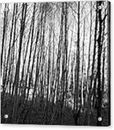 Black And White Birch Stand Acrylic Print