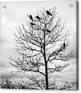Black And White Blackbirds  Acrylic Print