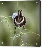 Black And White Butterfly V2 Acrylic Print