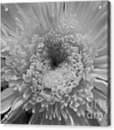 Black And White Chrysanthymum Acrylic Print
