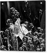 Black And White Daffodil Acrylic Print