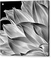 Black And White Dahlia Acrylic Print
