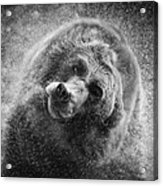 Black And White Grizzly Acrylic Print