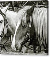 Black And White Horses. Acrylic Print