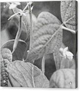 Black And White Kentucky Wonder Acrylic Print