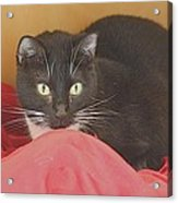 Black And White Kitty At Pet Helpers Acrylic Print